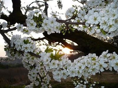 La flor de la prunera